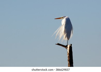stunningly white great egret perched on tree limb in windy conditions