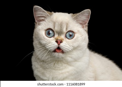 Stupid Portrait of British breed Cat White color with Blue eyes, Stare in Camera with opened mouth on Isolated Black Background, front view