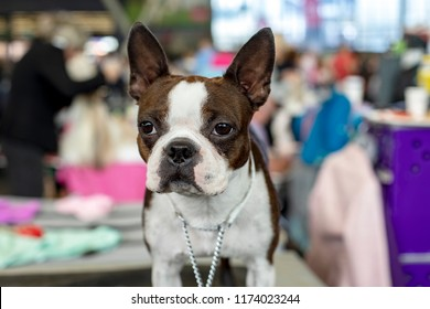 Sturdy compact French bull dog with a white collar, staring eyes, ears straight up and short muzzle. Standing in front of a dog show.