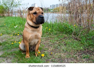 Sturdy dog. Pure breed shar pei dog is sitting in park near lake. Cityscape background. Big male dog with collar in flowers. Strong dog sharpei. Green grass, yellow dandelions and water in spring.