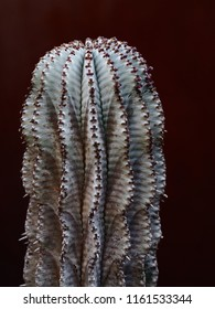 Sturdy Vertical African Milk Barrel Cactus with a Textured Visual Surface & Soft Subtle Tones.