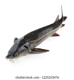 Sturgeon fish isolated on white background