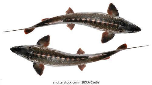 Sturgeon fish isolated on white background. Top view