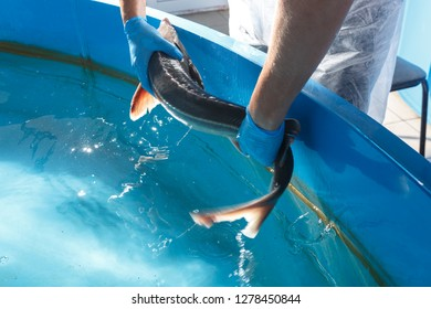Sturgeon in hands on background of the pool