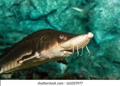 A sturgeon in the sea