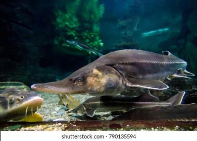 A sturgeon in the sea. Sea sturgeons in aquarium