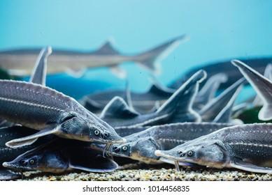 Sturgeon underwater in the aquarium on fishmarket