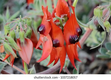 Sturt's Desert Pea (Swainsona formosa),  an Australian plant in the genus Swainsona that lives in the arid region of Australia.