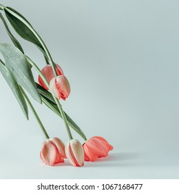 Styled minimalistic still life with tulip flowers on white background.
