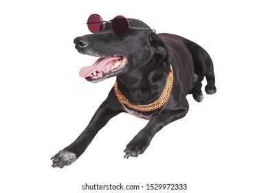 Stylish black dog in sunglasses lie. Funny pet isolated on white background. Fashion dog with goden chain. Home animal with black sunglasses. Luxury animal. Fashionable pet isolated