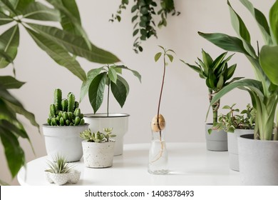 Stylish and botany composition of home interior garden filled a lot of plants in different design, elegant pots and avocado plant in glass bottle. White backgrounds walls. Green is better. Template. - Shutterstock ID 1408378493
