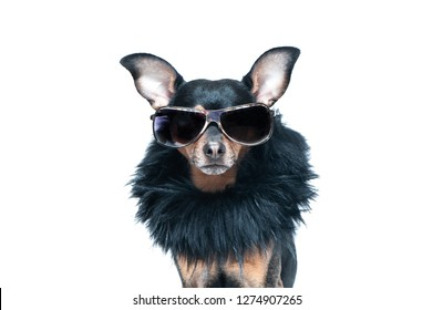Stylish, chic dog  isolated , diva in a fur coat and glasses . Fashion and shopping concept
