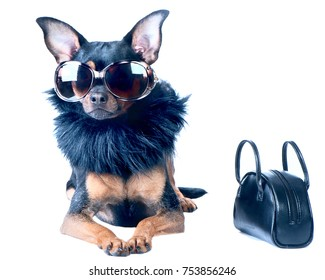 Stylish, chic dog  isolated Toy Terrier, Chihuahua. Star, diva in fashionable sunglasses and fur boa, next handbag