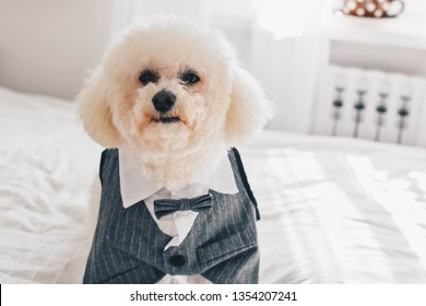 Stylish dog suit and a Bichon Frise