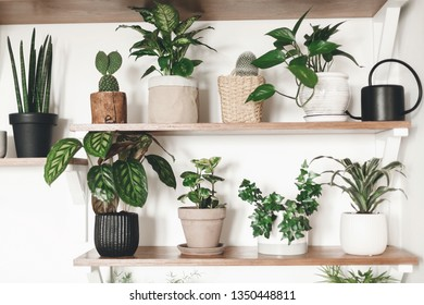 Stylish green plants and black watering can on wooden shelves. Modern hipster room decor. Cactus, dieffenbachia, epipremnum, calathea,dracaena,ivy, peperomia,sansevieria in pots on shelf