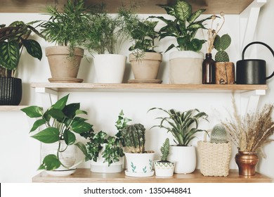 Stylish green plants and black watering can on  wooden shelves. Modern hipster room decor. Cactus, pothos, asparagus, calathea, peperomia,dieffenbachia, dracaena, ivy, palm in pots on shelf