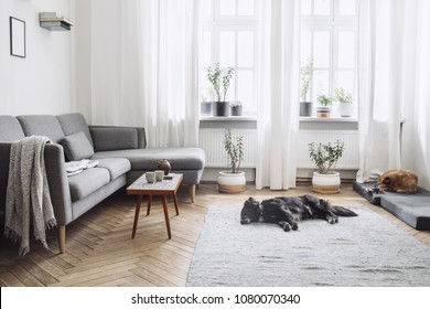 Stylish interior of living room with small design table and sofa. White walls, plants on the windowsill and floor. Brown wooden parquet. The dogs sleep in the room.