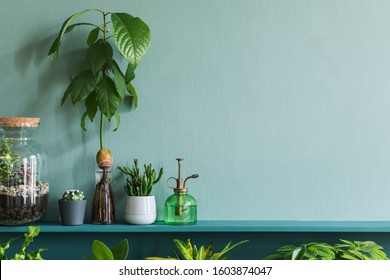 Stylish living room interior with beautiful plants in differents hipster and design pots on the green shelf. Green wall. Modern and floral concept of home garden jungle. Template. Copy space.
