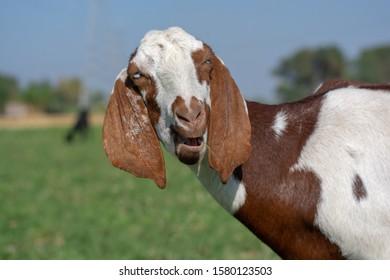 Stylish pose of the goat