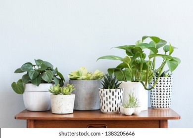 Stylish scandinavian interior with design commode and beautiful composition of plants in different hipster pots. Modern home decor. Gray background wall. Minimalistic concept. Template. Home garden.