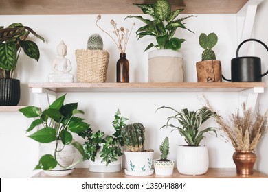 Stylish wooden shelves with green plants, black watering can, wildflowers. Modern hipster room decor. Cactus, epipremnum pothos, dieffenbachia, calathea,dracaena in pots on shelf