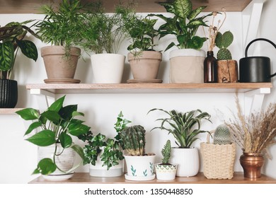 Stylish wooden shelves with green plants and black watering can. Modern hipster room decor. Cactus, pothos, asparagus, calathea, peperomia,dieffenbachia, dracaena, ivy, palm in pots on shelf
