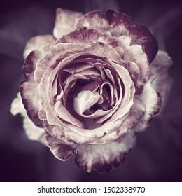 Stylized dark rose close up