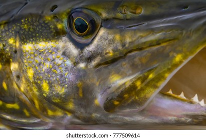 Stylized pike fish. Close-up head of trophy with open jaw with teeth.