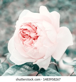 Stylized pink rose close-up, poster