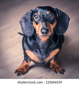 Stylized portrait of Dachshund on wooden background.