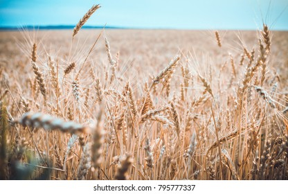 Stylized toned photo of ripe wheat on a summer day
