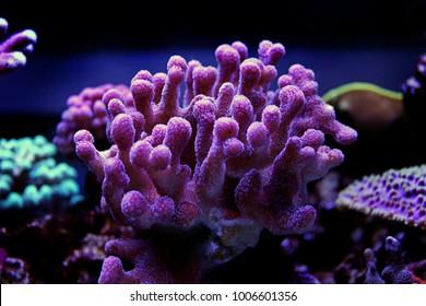 Stylophora smal poyp stony coral