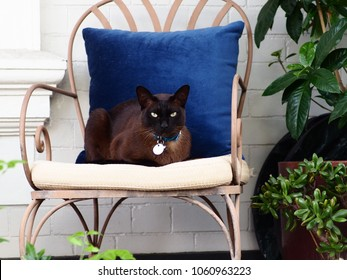 Suave Stylish Burmese Cat Elegantly Settled on a Outdoor Chair.