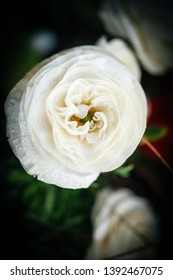 Suave white Ranunculus from the family Ranunculaceae detailed photo macro close-up with tilt-shift lens