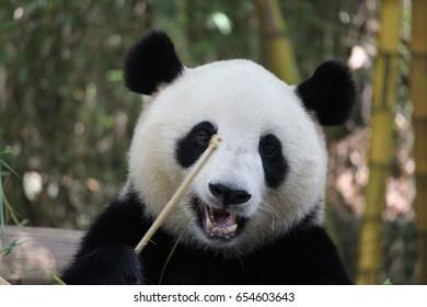 Sub adult Giant Panda is eating bamboo