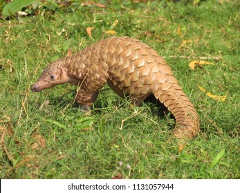 Sub adult Indian pangolin walking