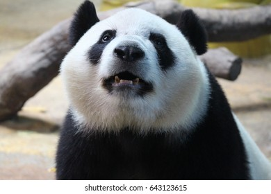 Sub Adult panda