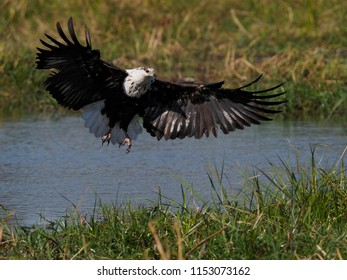 Sub-Adult African Fish Eagle Fishing, Khwai Concession, Botswana