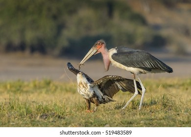 Sub-adult fish-eagle protecting prey from Marabou stork