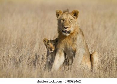 Sub-adult lion male babysitting young sibling, Serengeti National Park, Tanzania.