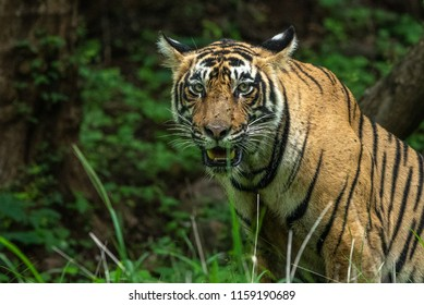 Sub-adult male tiger of Ranthambore