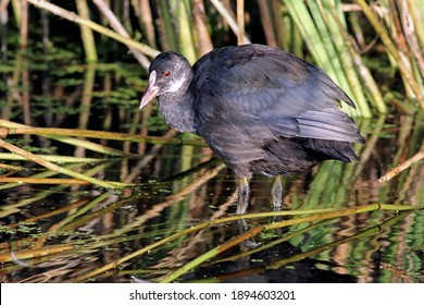 Subadult or young eurasian coot or common coot (Fulica atra) in the wetlands, surrounded by reeds. Beatiful looking water bird with vibrant red eye and environment. Taken in Santander, Spain.