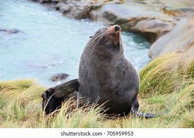Subantarctic fur seal in New Zealand who is scratching