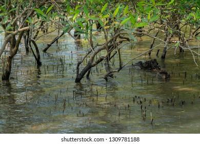 Submerged mangrove bushes in Sundarbans in India