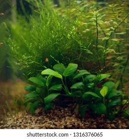 Submersed plants in the aquarium