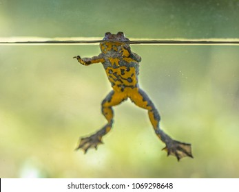 Submersed Yellow-bellied toad (Bombina variegata) swimming in water with blurred background