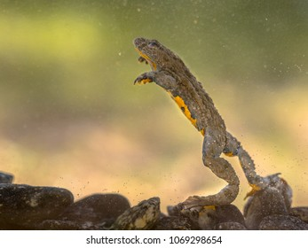 Submersed Yellow-bellied toad (Bombina variegata) swimming under water with blurred background