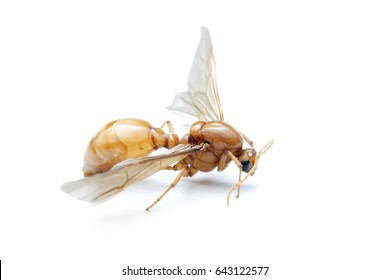 Subterranean ants , Flying ants on white background.