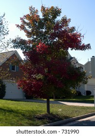 Suburban street tree adorned in red and green leaves. Turning of the leaves in North Carolina