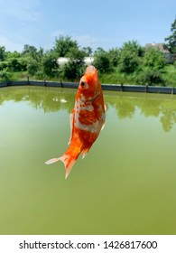 Succesfull  fishing with golden fish (carp koi fish)